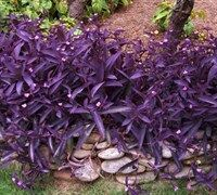 Purple Hearts. Must try this in the garden. It's apparently hard to kill.