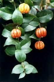 grosella. Colombia. Puerto Rico. Also known as the Gooseberry tree, resembling the known gooseberry only in it's acidity.