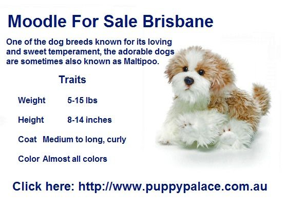 Moodle For Sale Brisbane Puppies For Sale Queensland Puppies For Sale Cute Dogs Puppy Palace