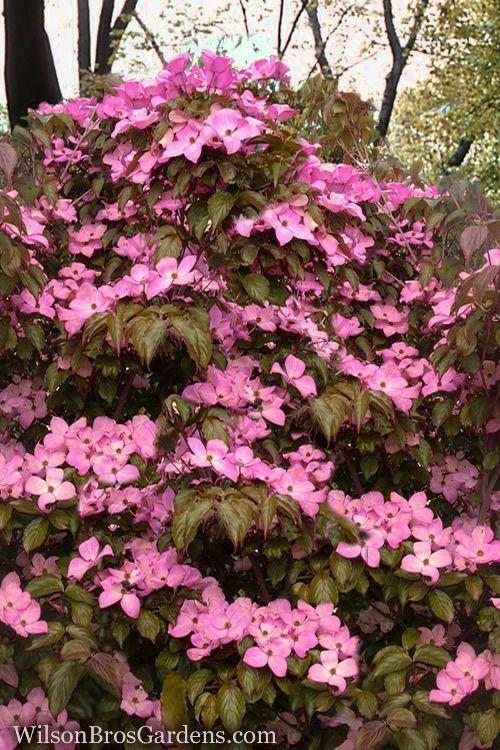 Buy Pink Chinese Dogwood Tees Free Shipping Cornus Kousa Satomi For Sale Online From Wilson Bros Gardens Dogwood Trees Flowering Trees Kousa Dogwood Tree