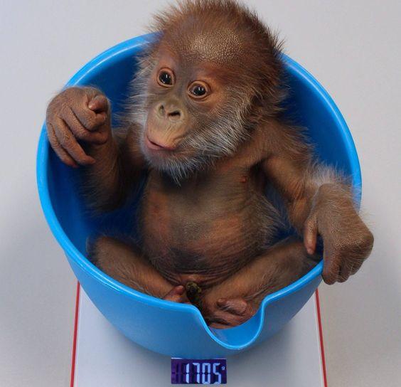 Orang baby Rieke, Zoo Berlin, born on 12 January 2015