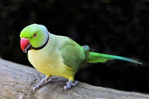 Green Parrot In 2020 Pets Pet Birds Food Animals