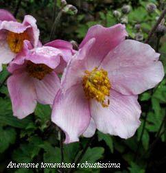 """Anemone robustissima - gli Anemoni giapponesi, a fioritura autunnale, sono più che affidabili: ho visto una """"siepe"""" in pieno sole, lungo una recinzione, in un giardino a Caluso ed è un mese di vero spettacolo"""
