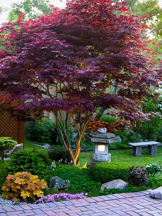 Bloodgood Japanese Maple Coral Bark Japanese Maple Backyard Landscaping Landscape Design