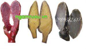 nấm ngọc cẩu ruột đỏ, vàng và tím