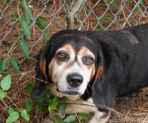 Basset Hound Dog For Adoption In West Columbia Sc Adn 24620 On Puppyfinder Com Gender Male Age Senior Dog Adoption Basset Hound Dog Hound Dog