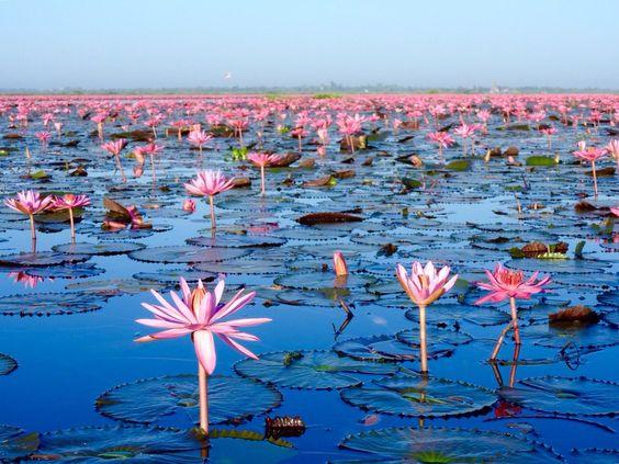 タイのウドーンターニーのノンハン湖の蓮の花です。