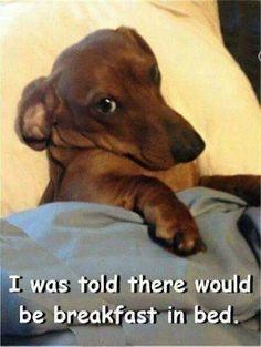 Weiner Dog Meme : weiner, Dachshund, Funny, Dachshund,, Puppies,