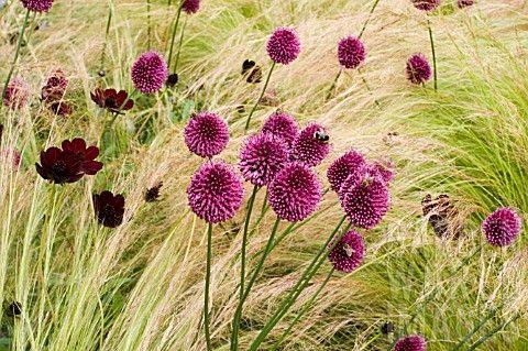 ALLIUM_SPHAEROCEPHALON_BACKED_BY_GRASS