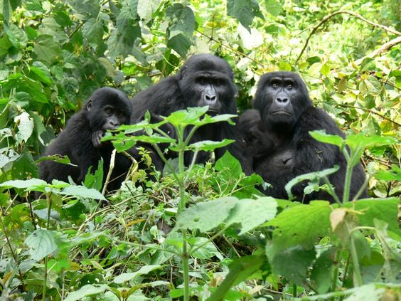 Gorilla @ #Bwindi Impenetrable National Park in #Uganda. Check our user reviews of Bwindi. Photo by Gerhard Mauracher