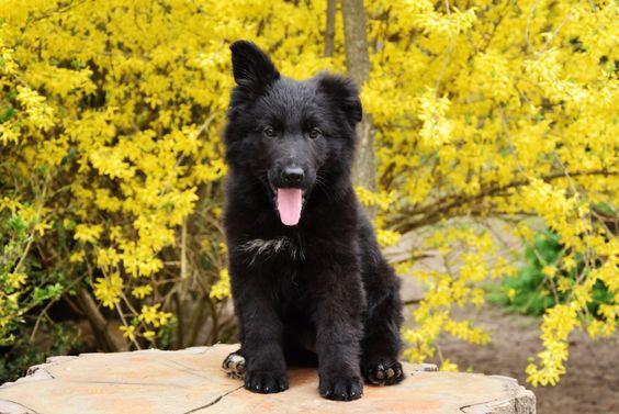 A happy German Shepherd baby