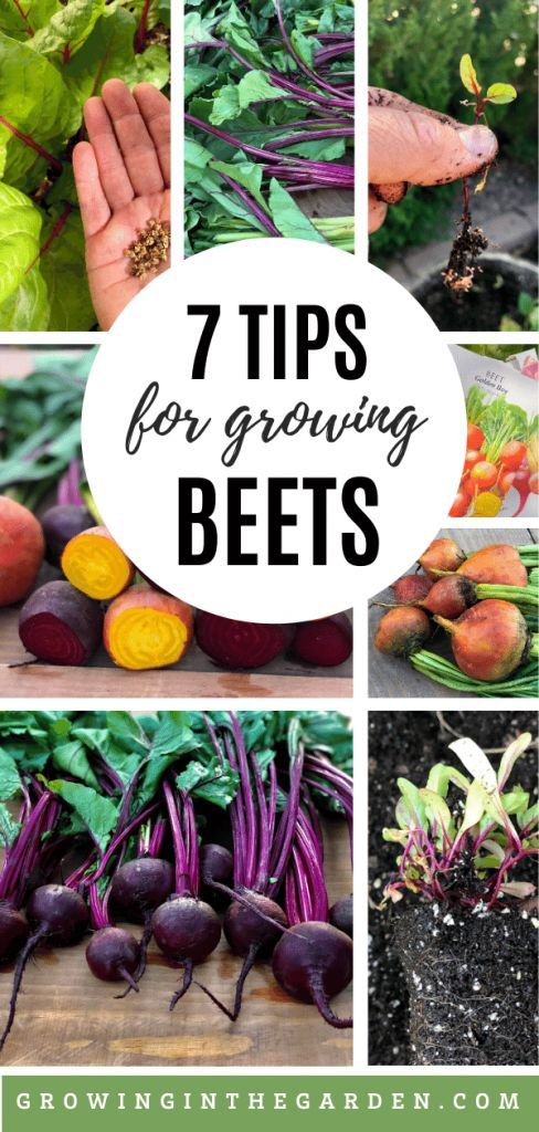 How To Grow Beets 7 Tips For Growing Beets Growing In The Garden Growing Beets Planting Vegetables Companion Planting Vegetables