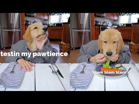 Tucker Budzyn Youtube Dogs Retriever Puppy Golden Retriever