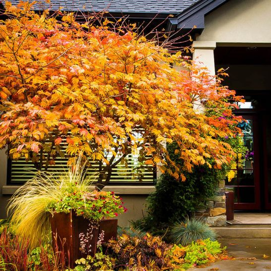 Full Moon Japanese Maple From Treehelp Japanese Maple Japanese Maple Tree Specimen Trees