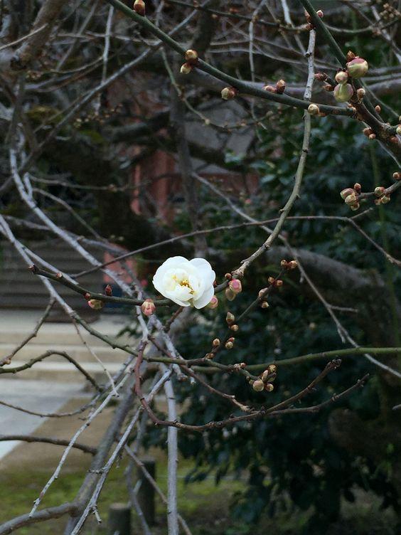 1st blossom, December in Kyoto