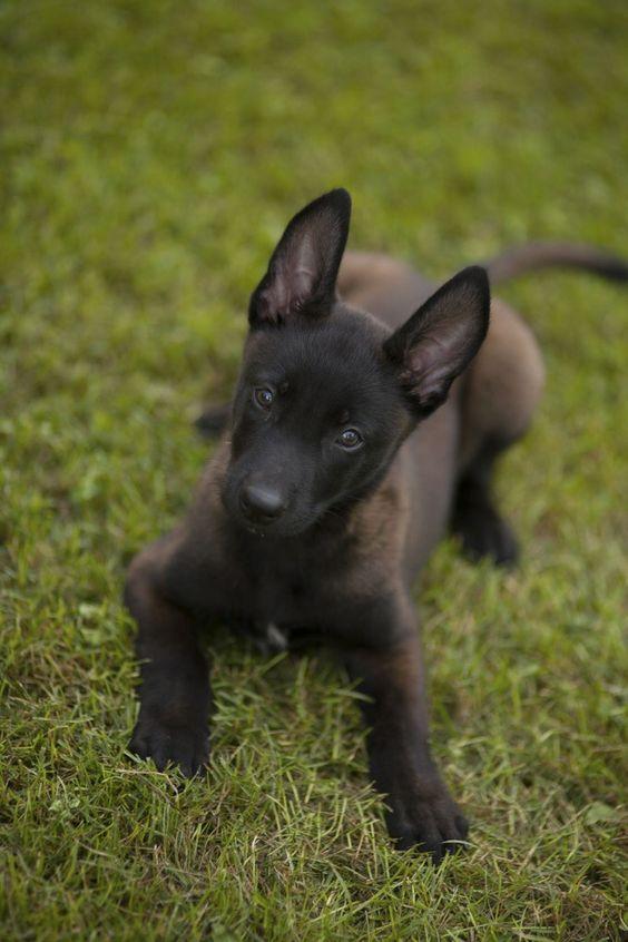 Belgian Malinois Puppy | Favorite Dog breeds | Pinterest ...
