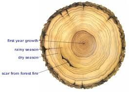 visual aide - cross section of tree trunk