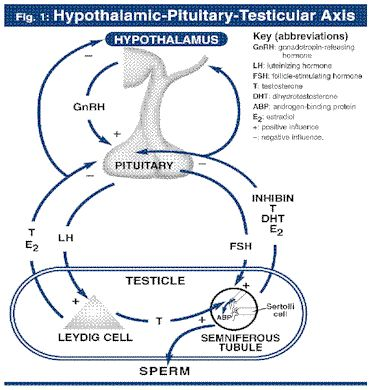 the hypothalamic pituitary testicular axis and testosterone production Impeccable coordination of the hypothalamic-pituitary-gonadal axis is required for normal testicular function in the male, including normal testosterone production and male fertility.