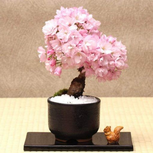 Pink Sakura Tree Seeds Bonsai Tree Seeds 10pcs Pack Rare Color Pampas Grass 10pcspack Bonsai Color Grass Pampa Bonsai Flower Bonsai Tree Tree Seeds