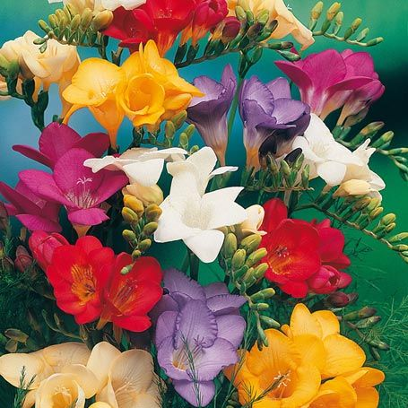 Freiland-Freesien-Mischung - Sommerblüher (Pflanzung im Frühjahr)