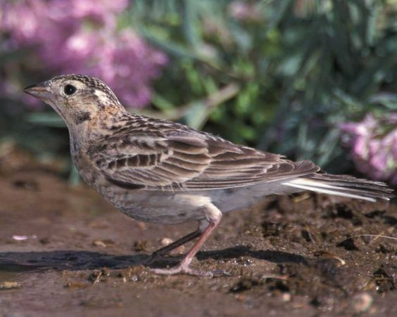 Chestnut-collard Longspurs can be found at Pancho Villa State Park, which is part of the SW NM Birding Trail (Winter)