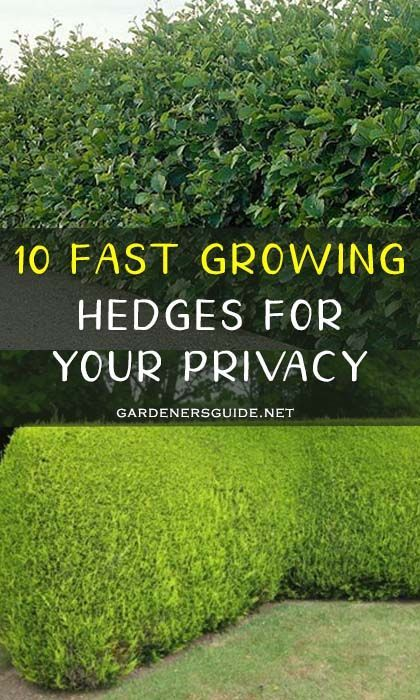 10 Fast Growing Hedges For Your Privacy Gardenersguide Gardening Privacy Privacy Fast Growing Hedge Privacy Hedges Fast Growing Privacy Bushes Fast Growing