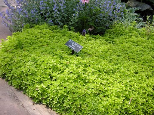Golden oregano ground cover for under a crape myrtle for Drought tolerant ground cover full sun