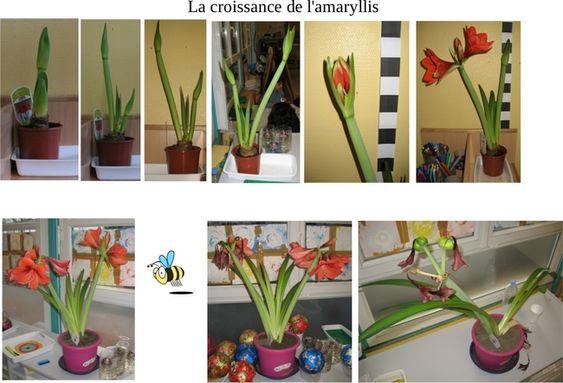 Monde v g tal l 39 amaryllis tude de la croissance d 39 un for Amaryllis planter bulbe
