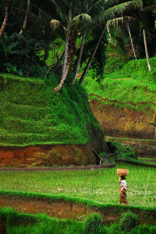 woman and terraced rice paddies, Asia