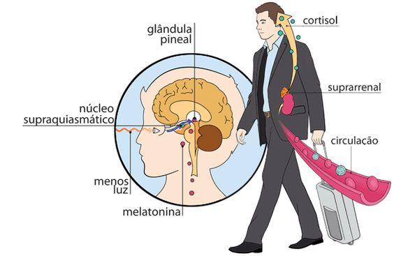 O ciclo de funcionamento do corpo tem cerca de 24 horas de duração e é influenciado pelas noções de claro e escuro. É o ritmo circadiano: ao anoitecer, menos luz chega à retina, que envia uma mensagem ao núcleo supraquiasmático. Por sua vez, a estrutura manda a glândula pineal produzir o hormônio melatonina, cuja maior função é preparar o terreno para o sono.