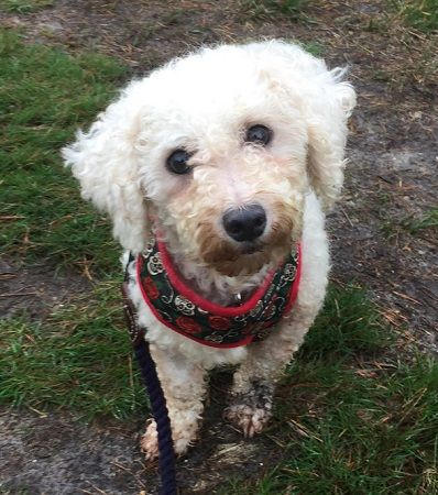 Blousey Bichon Frise Dog Rescue Adoption Fostering In London Kent Hampshire Pro Dogs Direct Bichon Frise Dogs Bichon Frise Dog Adoption