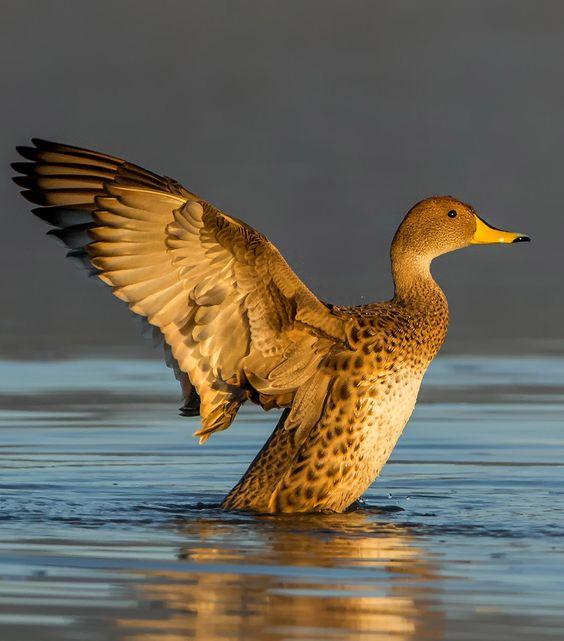 Resultado de imagen para familia de pato jergon