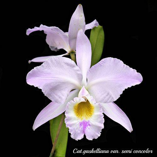 Cattleya Gaskelliana Var Semi Concolor Cattleya Orchidaceae Cattleya Orchid