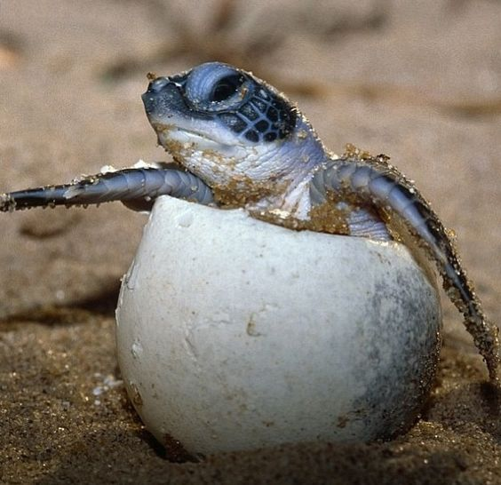 Baby Sea Turtle Coming Out Of Its Egg Hatching Reptiles