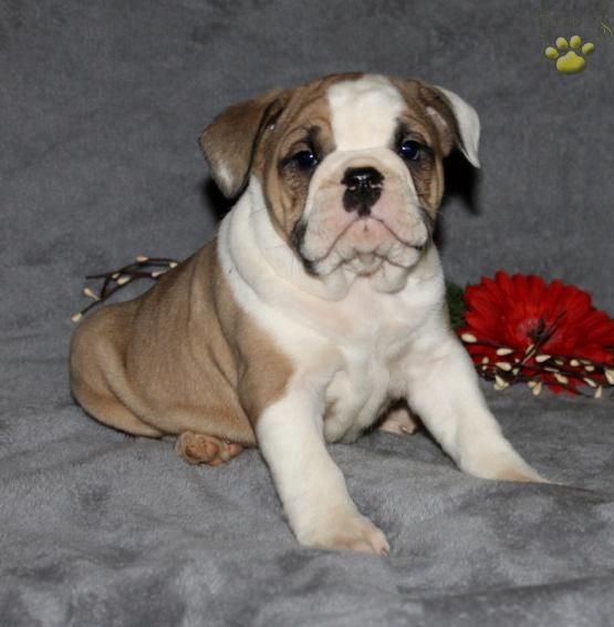 Millie English Bulldog Hybrid Puppy For Sale In Bird In Hand Pa