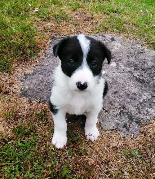 Wiccaweys Rescued Border Collies Working Sheepdogs Border Collie Puppies For Sale In Caerphilly In 2020 Border Collies For Sale Border Collie Collie Puppies For Sale