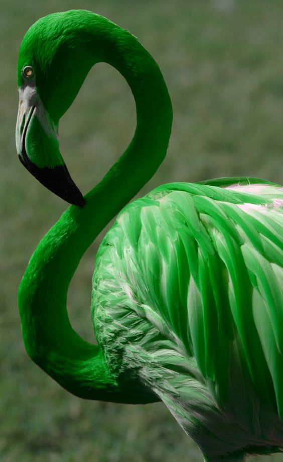 """Green Flamingos ❤ """"Flamingo feathers obtain their wonderful rosy pink color from pigments in the organisms they eat, which is rich in alpha and beta carotenoid pigments. Carotenoids in crustaceans are frequently linked to protein molecules, and may be blue or green!!!... After being digested, the carotenoid pigments dissolve in fats and are deposited in the growing feathers, mostly becoming orange or pink"""""""