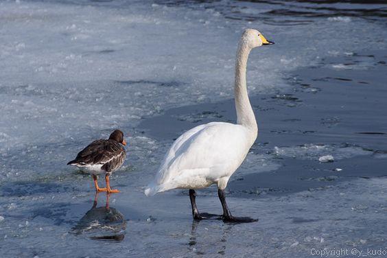 T松の池に一昨日飛来したマガン、今日もまだ居ました。飛来した時に同行していた(?) #白鳥 とあまり離れずに行動していて本当に家族のような‥‥ #岩手 #盛岡 #野鳥 Morioka Iwate Japan