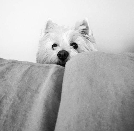My name is Bear . The mighty Westie