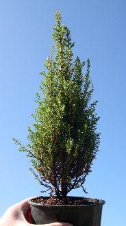 Miniature Common Juniper - Juniperus commnis 'Miniature'/two green thumbs miniature garden center