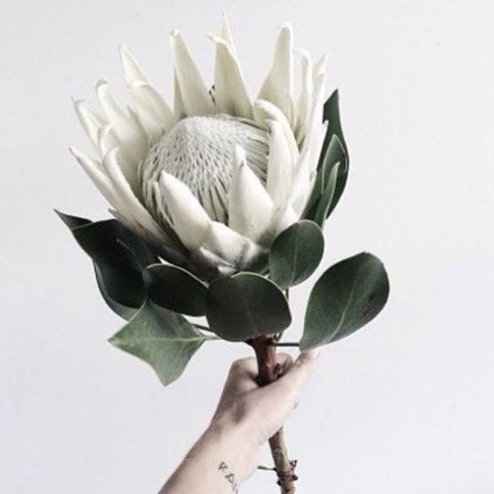 Summer These Last Few Days Of Spring Are Warming Up Nicely We Can Just About Smell The Festive Season Personalised Gifti Protea Flower White Flowers Plants