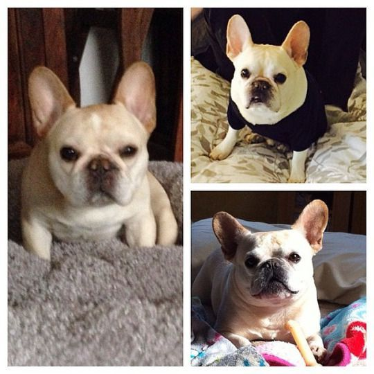The Daily Walter Cronkite The French Bulldog Walterthefrenchbulldog The Daily Walter Cronkite The French Bulldog French Bulldog Fur Babies Animals