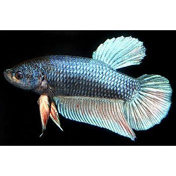 Pinterest the world s catalog of ideas for How much are betta fish at petco