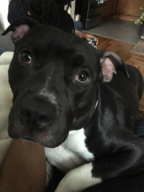 Adopt Marlo On Pitbull Terrier Pitbulls Bull Terrier Dog