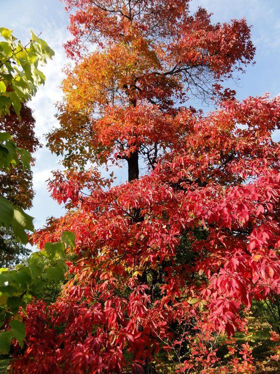 Spektakel im Herbst: der Wandel der Laubfärbung des Fenchelholzbaumes (Sassafras albidum).