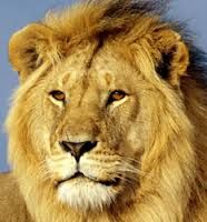 Image result for lion head pictures