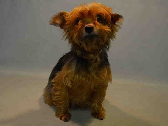 SUPER URGENT Brooklyn Center DORA – A1092241 FEMALE, BROWN / BLACK, YORKSHIRE TERR MIX, 8 yrs OWNER SUR – EVALUATE, HOLD FOR ID Reason NO TIME Intake condition EXAM REQ Intake Date 10/03/2016, From NY 11372, DueOut Date 10/03/2016