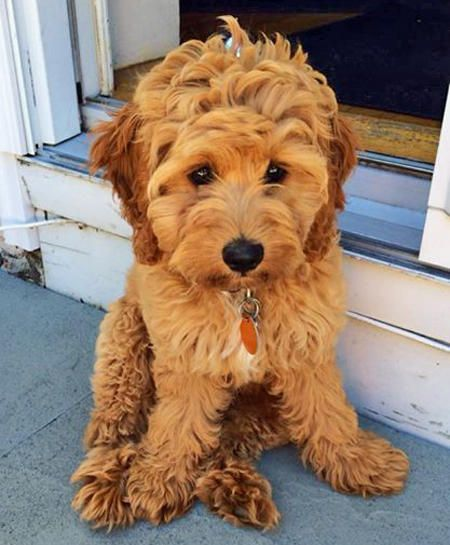 """Lucy the Cockapoo""""I really can't explain it. I have this"""
