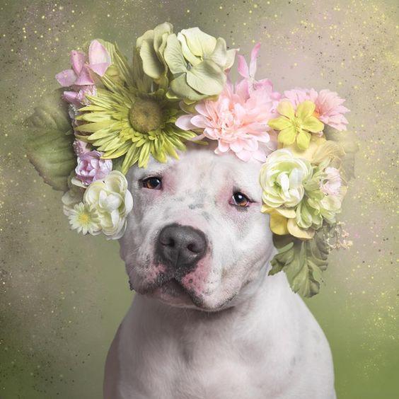Fotos encantadoras buscam suavizar a imagem dos pitbulls | National Geographic