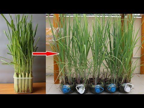 Want Beautiful Free Garden Indoor Plants Regrow Kitchen Scraps Like Mango Seed Avocado Pit Pineapple Top Le In 2021 Plants Grown In Water Plants Growing Plants